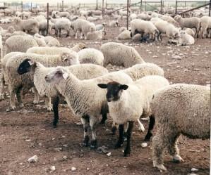 Sheep 201: Feeding Lambs