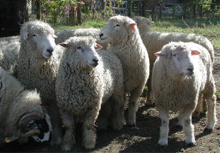 Wool breed rams