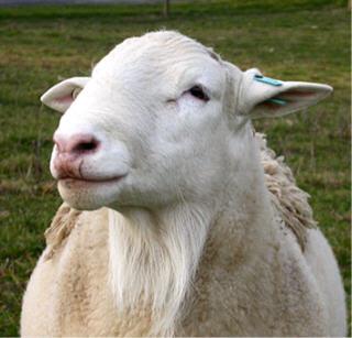 3/4 White Dorper ram