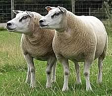 beltex sheep society