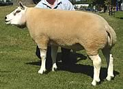 sized sheep  bluefaced leicester sheep  scotch mule sheep photographs by at