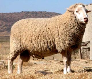 Sheep 101 Sheep Breeds A Ba