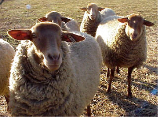 California red ewes