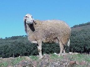 اغنام العساف Assaf sheep Assaf2.jpg