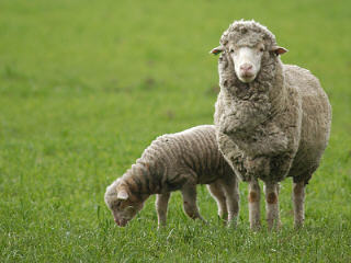 Sheep 101: Sheep Breeds A - Ba