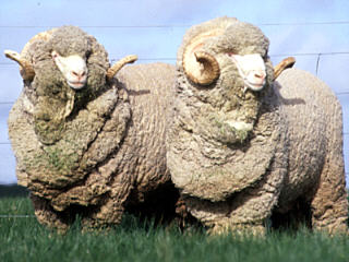sheep 101  sheep breeds a   ba
