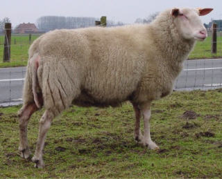 Belgium Milk Sheep Ram