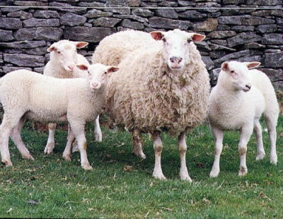 British Milk Sheep