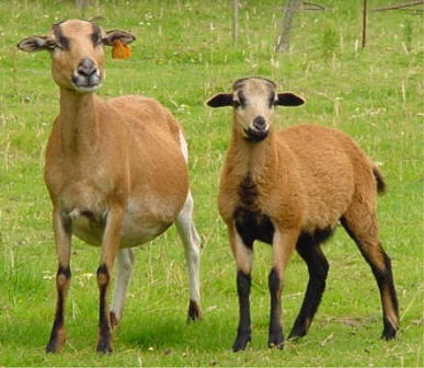 Cameroon ewe and lamb