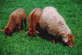 Coburg ewe and lambs