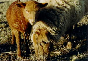 Coburg ewe and lamb