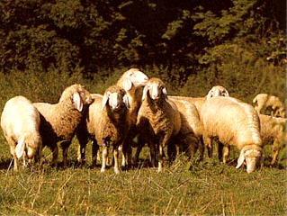 White Mountain sheep