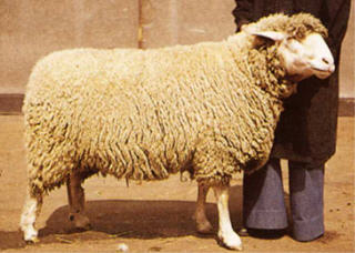 German Merino