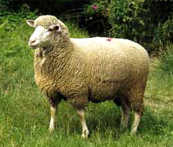 German Mutton Merino