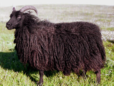 Hebridean ewe in full fleece