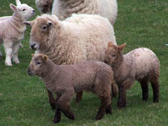 Hill Radnor ewe and lambs