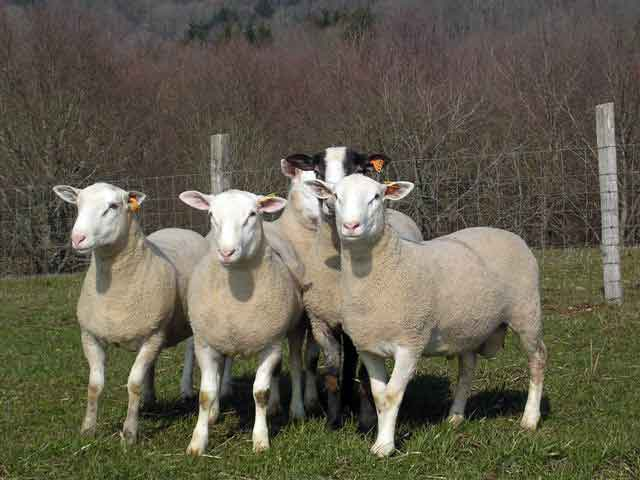 INRA 401 sheep
