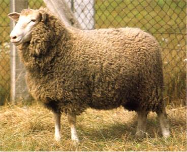 Sheep 101: Sheep Breeds J-L