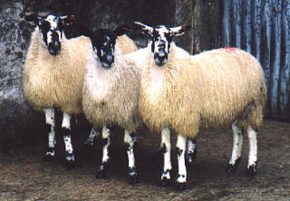 Sheep 101: Sheep Breeds M-N