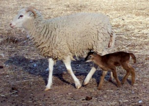New Mexico Dahl ewe and lamb