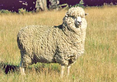 sheep 101 sheep breeds m n