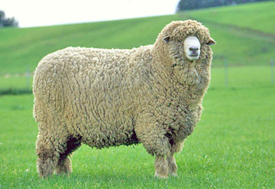 New Zealand Halfbred ram