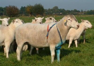 Sheep 101: Sheep Breeds M-N