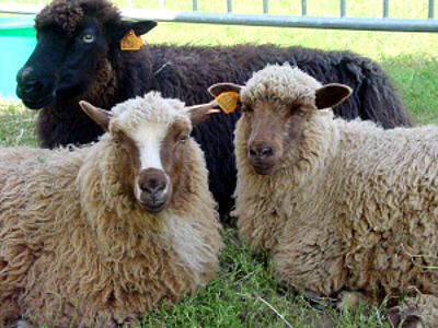 Spael sheep