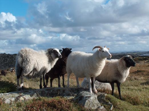 Old Norwegian Sheep