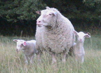 Polypay ewe and lambs