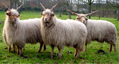 Racka sheep