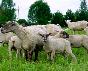 Rideau sheep
