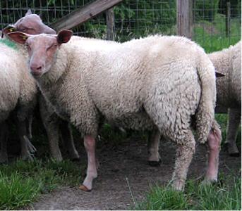Sheep 101: Sheep Breeds R