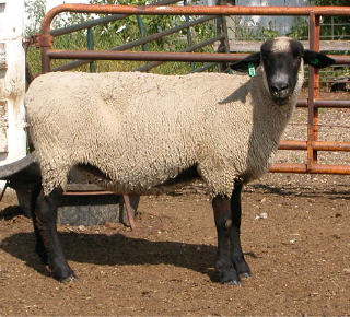 Hampshire ewe in the U.S.
