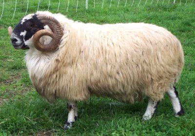 scottish blackface ram
