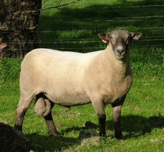 South Suffolk ram
