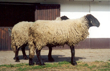 Tsigai sheep
