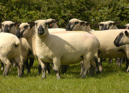 Hampshire ewes in the UK