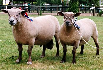 Vendéen  sheep