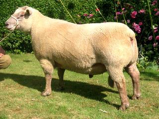 Sheep 101: Sheep Breeds V-Z