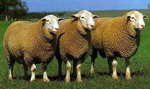 White Suffolk rams