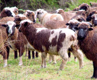 Arapawa sheep