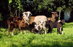 Arapawa Island sheep