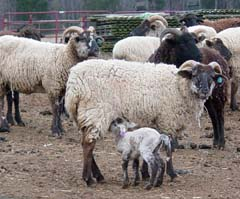 Hog Island sheep