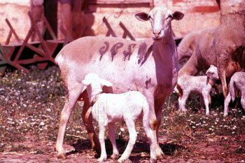 Manchega ewe and lamb