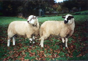 MIrrow sheep
