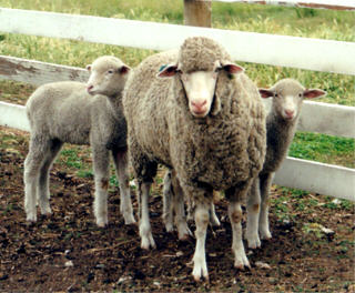 Panama ewe and lambs