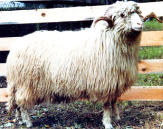 Polish  Mountain sheep