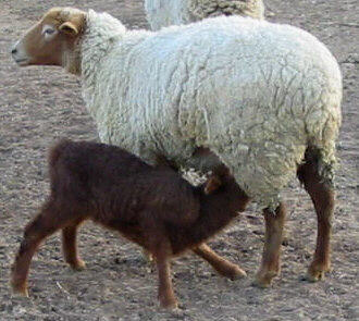 California Red ewe and lamb