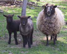 Coopworth ewe and lambs